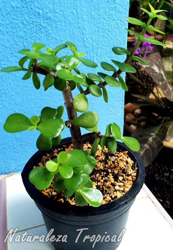 Árbol de la Abundancia en maceta plástica, Portulacaria afra