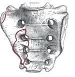bentuk tulang pinggul manusia