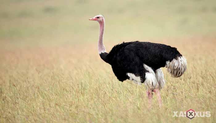 Hewan yang berkembang biak dengan cara bertelur - Burung unta