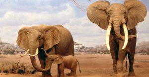 Fillerin Kulakları Neden Büyüktür?