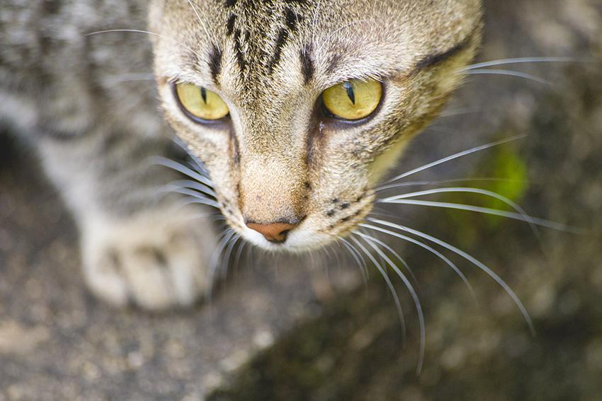 gato rajado