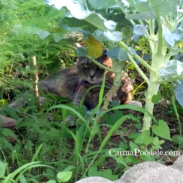Gray cat laying in the garden -CarmaPoodale