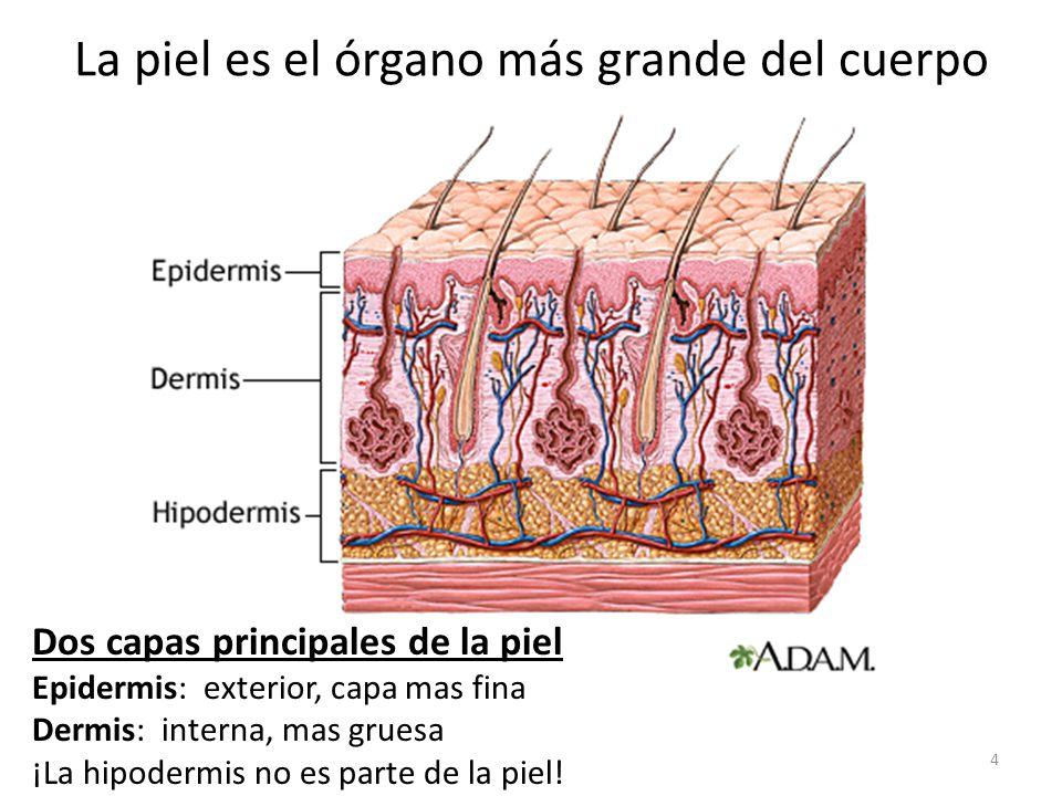 Encantador Sistema De órganos Piel Componente - Anatomía de Las ...