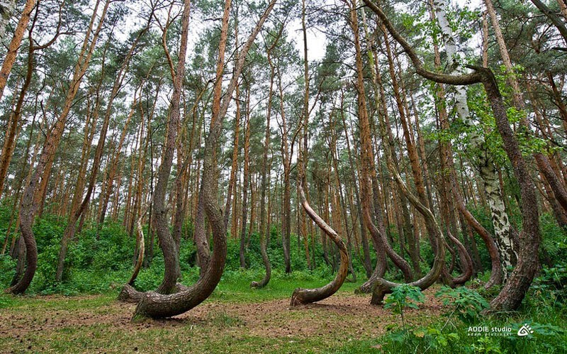 1. The Crooked Forest, Poland - 5 Fairytale Forests Straight Out of a Story Book