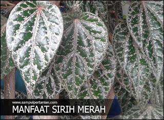 Manfaat sirih merah (Piper ornatum) untuk kesehatan