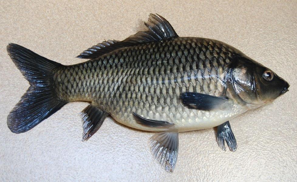 ciri ciri ikan mas jantan dan betina