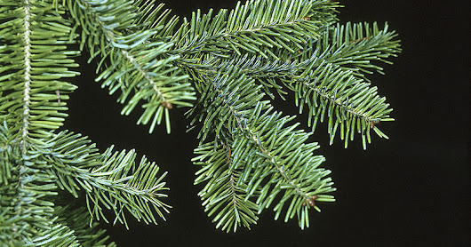 Selecting the Best Holiday Tree