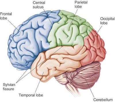 मस्तिष्क की संरचना