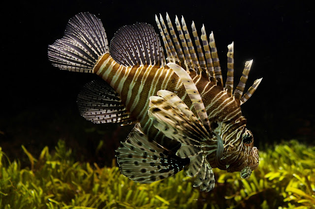penyebab ikan laut tidak asin