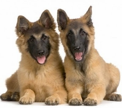 cheap german shepherd puppies ulgobang german shepherd puppies pictures 9193