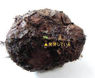 シンニンギアの発芽球根