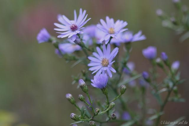 aster fleur d'automne bleue lavande
