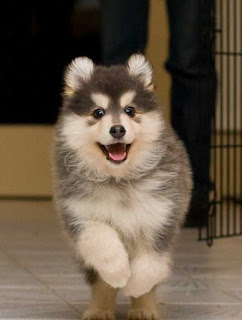 Lapphund Wolf