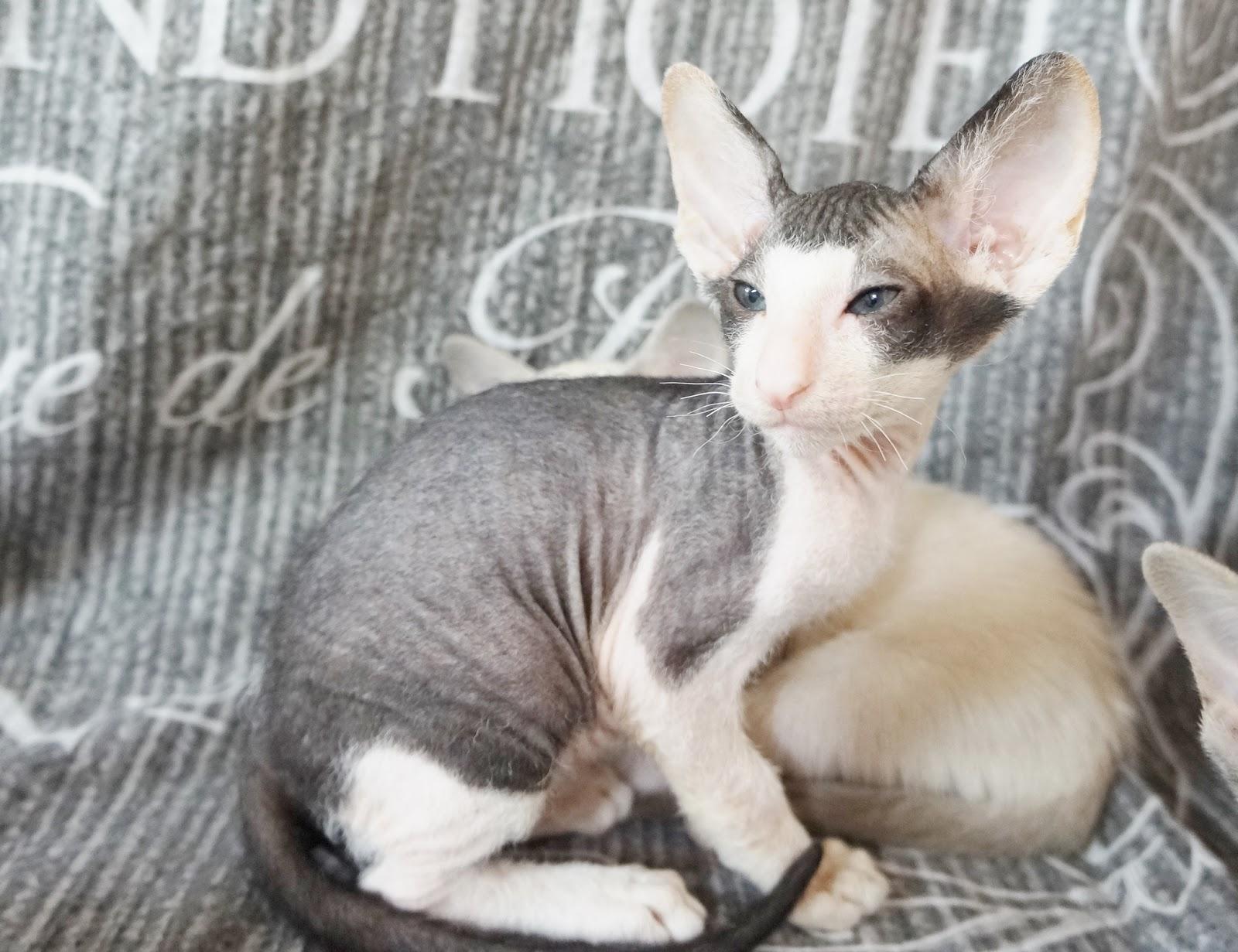 Cat Therapistpl Hodowla Kotów Syjamskich Orientalnych I