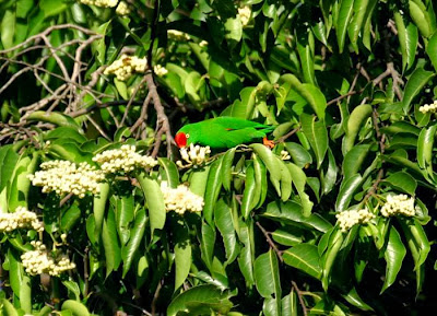 Sulawesi hanging parrot