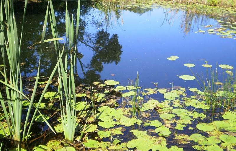 Pond with water lillies and reeds
