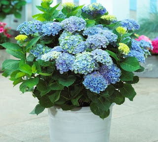 How to Care for a Hydrangea Plant