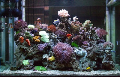 cara budidaya ikan, hias komet,ikan cupang,koki,hias air tawar,dan kelinci hias info,di lahan sempit,yang menguntungkan,guppy,