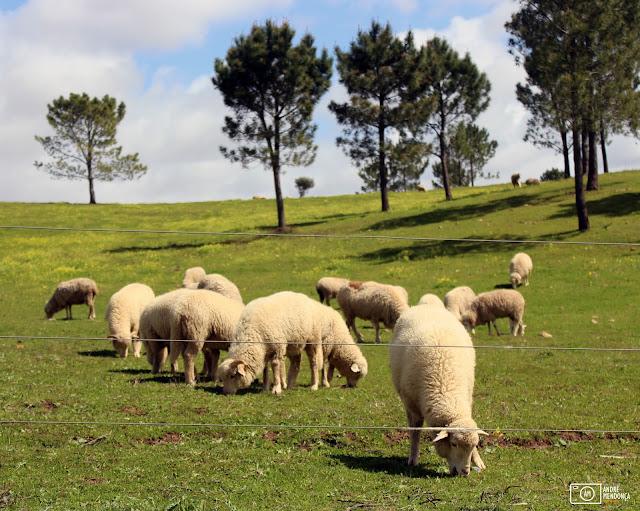 ovelhas da Quinta do Pisão
