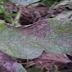امراض وافات نبات البطاطس
