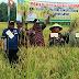Wabup dan Kelompok Tani Sungai Tolang Panen Perdana Padi Sawah