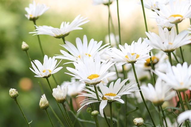 ý nghĩa hoa cúc trắng