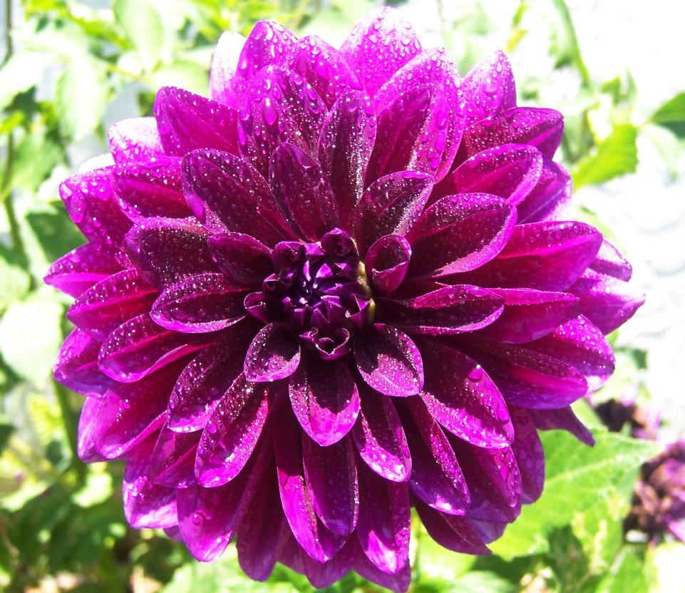 The 2 Minute Gardener Photo Dahlia Dahlia Sp