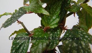 begonia-alas-de-angel-medora