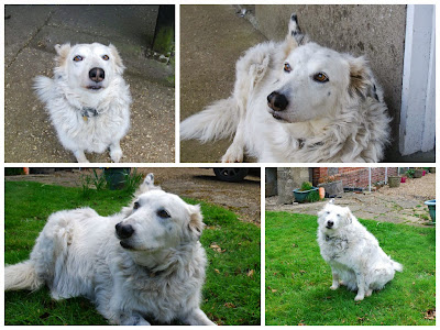 Collie Dog Pet Portrait