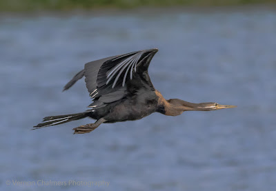 African Darter in Flight : Table Bay Nature Reserve, Woodbridge Island / Cape Town Frame 3/4