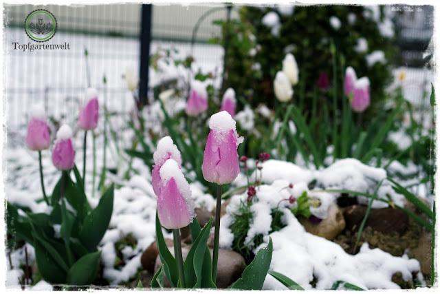 Gartenblog Topfgartenwelt Buchtipp Buchvorstellung Buchrezension: Gartenpraxis im Klimawandel von Lars Weigelt, verschneite Tulpen Ende April