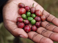 Coffee cherries, hand-picked in Africa. (Credit: rogiro/flickr)) Click to Enlarge.