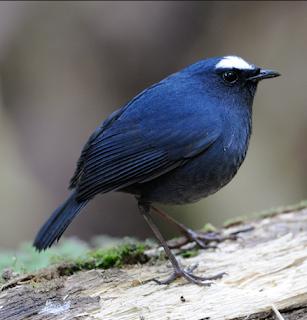 Mengenal Lebih Dekat Burung Cingcoang