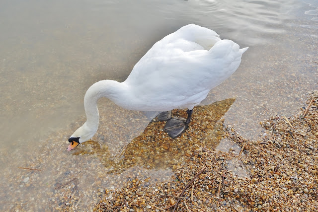 Swan in the lake walking