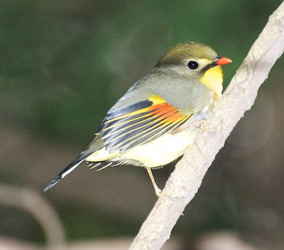 Red-billed Leothrix (Leiothrix lutea)