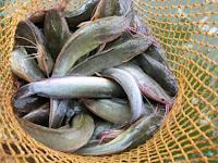 Resep Pembuatan Umpan Untuk Ikan Lele Galatama