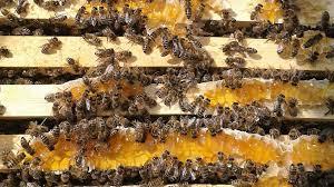 PRIMARY ECO CLUB: HONEY BEE