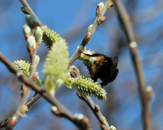Buff tailed bumble bee feeding on willow nectar
