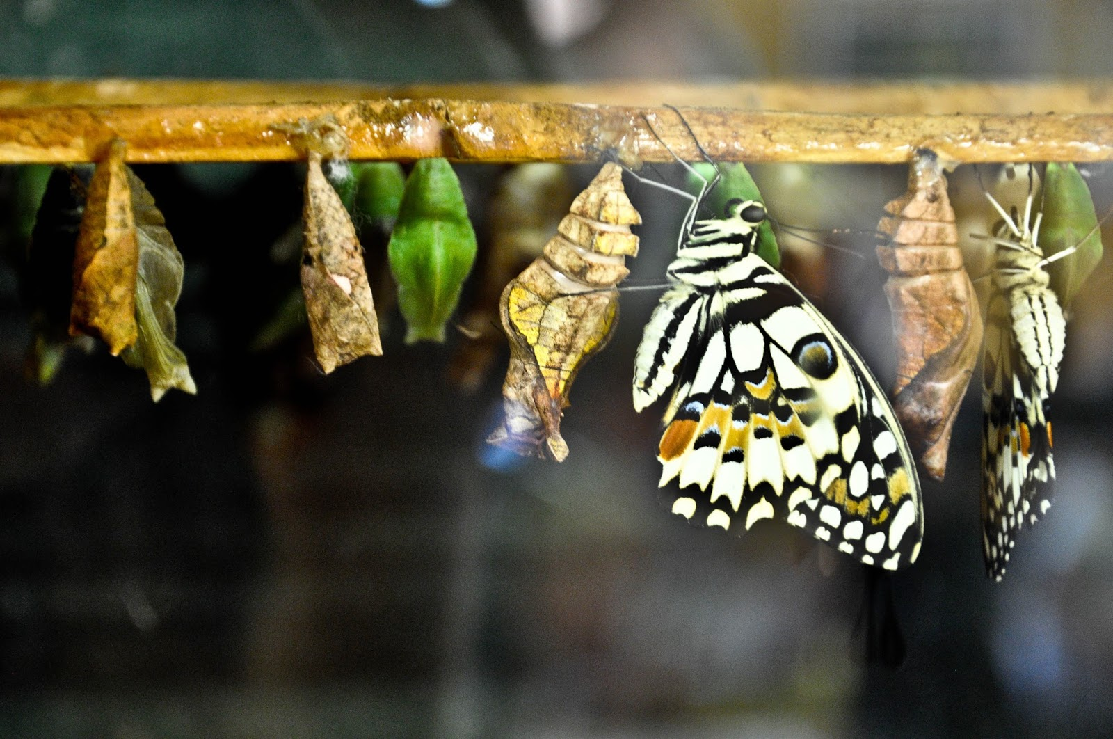 Just born, The Butterfly World Project, St. Albans, Herts, UK