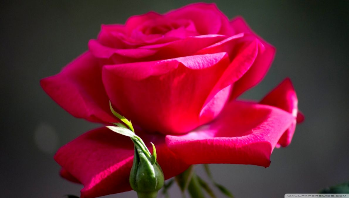 Beautiful Red Roses Flowers Hd Wallpapers Wallpapers Awards