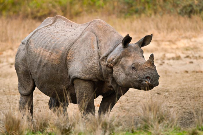 15 Animals That Are In Danger Of Extinction (Unless We Try To Protect Them) - Javan Rhino