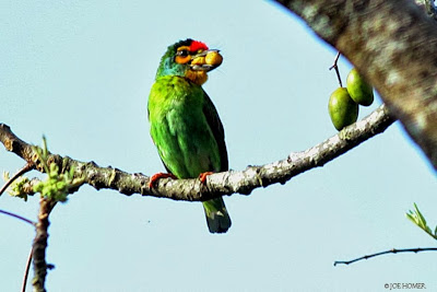 Sri Lanka Barbet