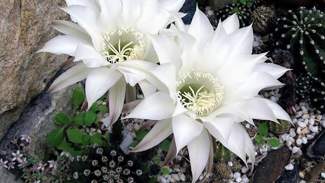 Hình nền máy tính hoa xương rồng tuyệt đẹp, sắc nét nhất