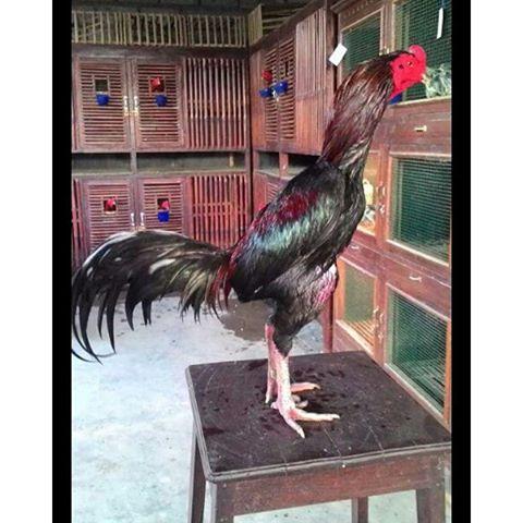 Cara Mengatasi Ayam Bangkok Tedun Atau Turun Urat Dengan