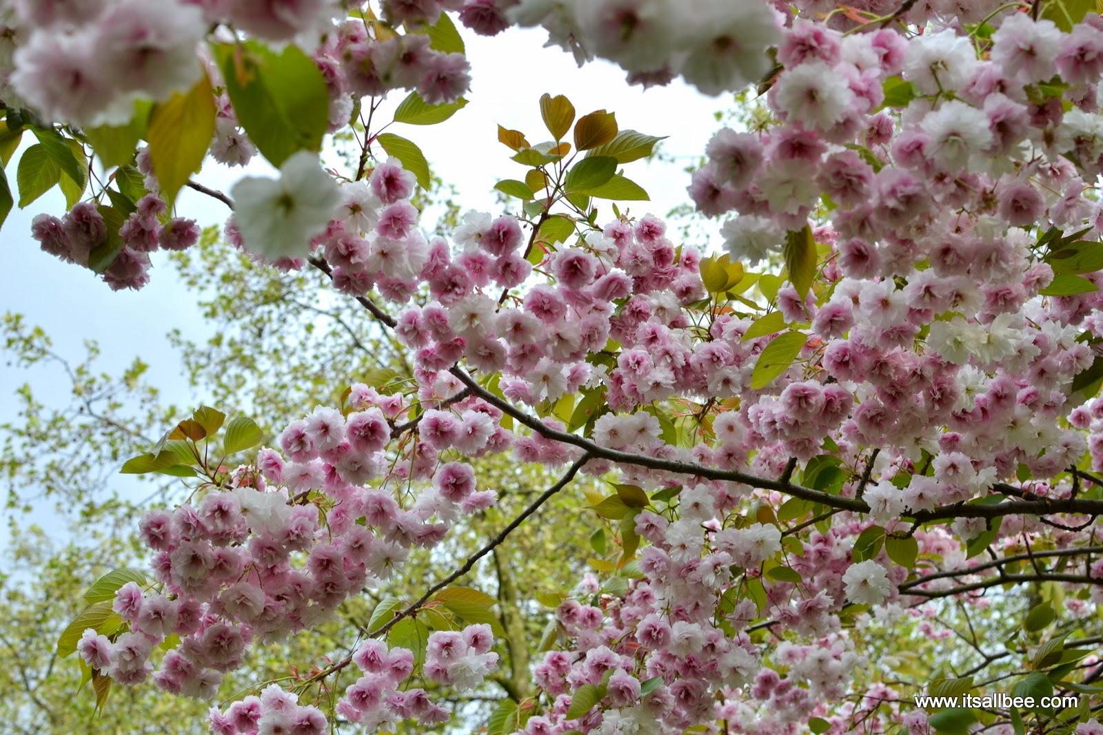 Cherry Blossom trees  - London St James Park - Spring