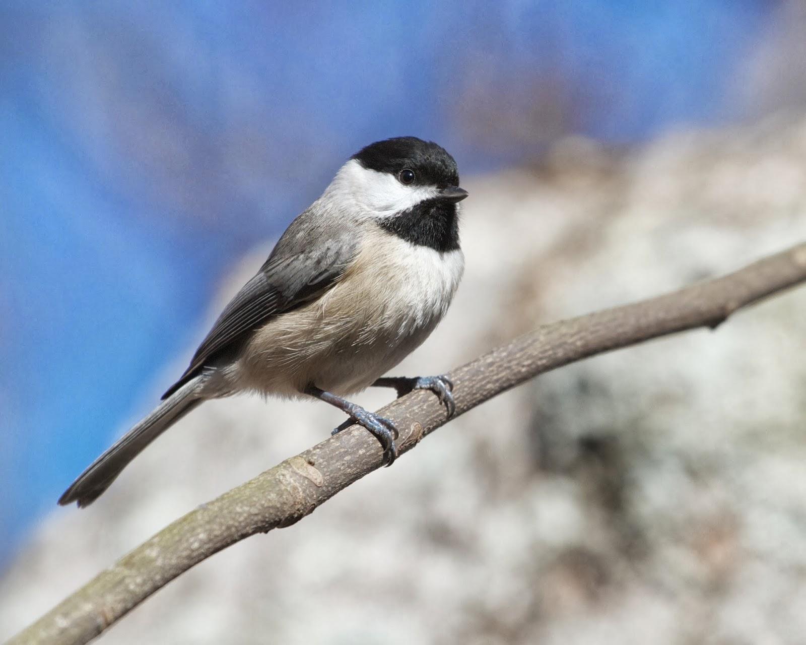 Birding With Bobay: Carolina Black-cappeds