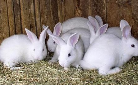 cara ternak kelinci yang baik,cara ternak kelinci hias,ternak kelinci lokal,cara ternak kelinci pemula,