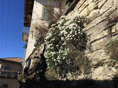 Iberis sempervirens (candytuft) grows on a wall on Via Sudorno