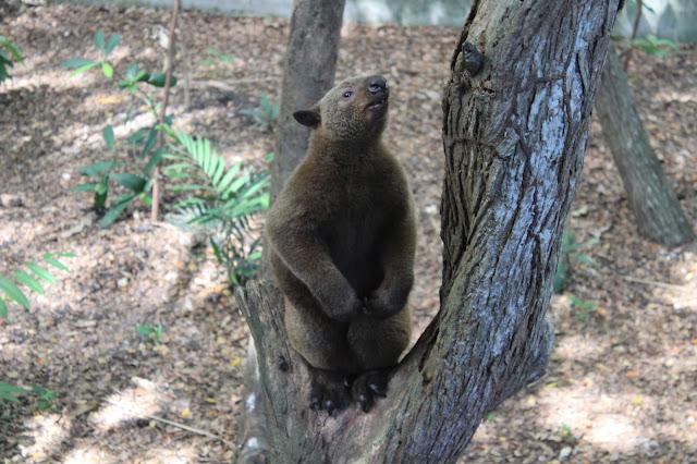 Nature Park Papua New Guinea Tree kangaroo