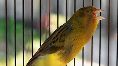 Cara Akurat Dan Cepat Membuat Burung Kenari Gacor Dalam Waktu Singkat